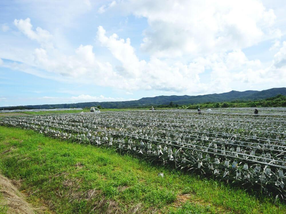 沖縄やんばるのパイナップル畑